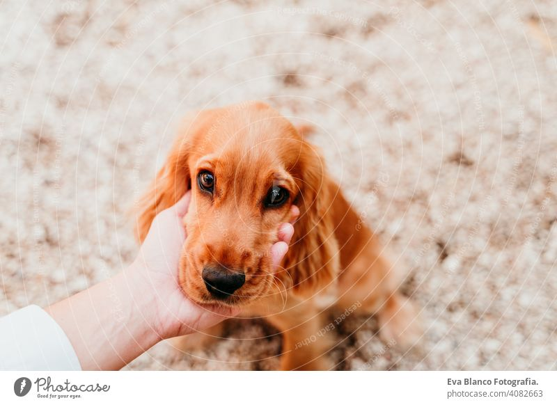 woman holding head of cute puppy cocker spaniel dog. love for animals concept pet park sunny outdoors hug smile kiss breed purebred young beautiful blonde brown