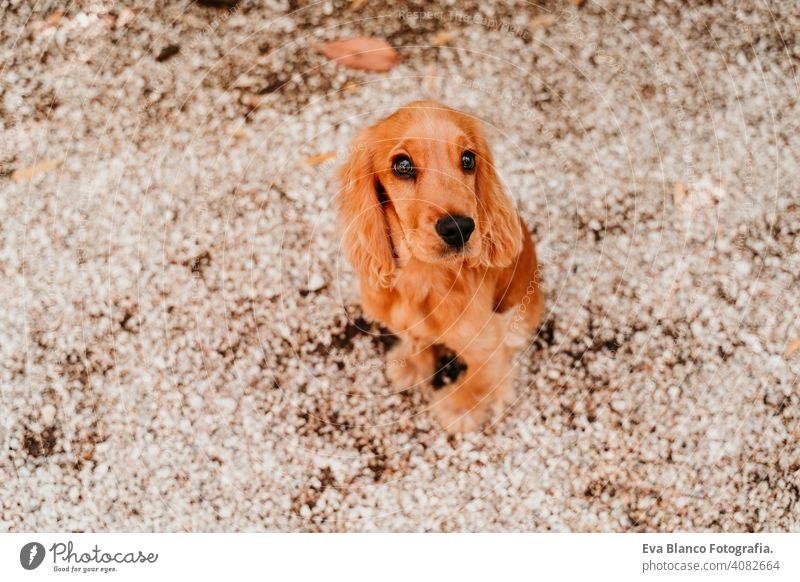portrait of cute puppy cocker spaniel dog outdoors woman pet park sunny love hug smile kiss breed purebred young beautiful blonde brown lifestyle attractive