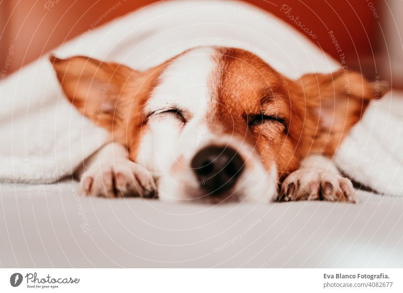 cute small jack russell dog resting on bed on a sunny day covered with a blanket sleeping tired eyes closed snout nobody enjoy lazy snore happy comfort