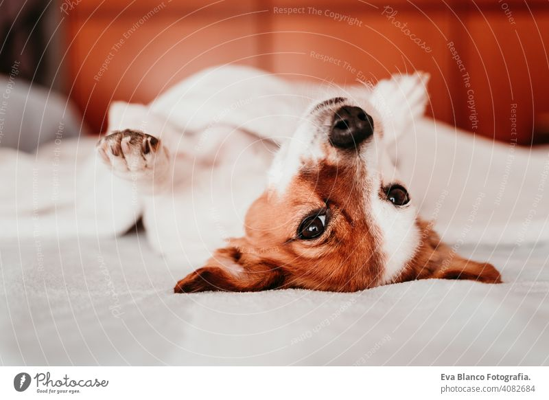 cute small jack russell dog resting upside down on bed on a sunny day sleeping tired eyes closed snout nobody enjoy lazy snore happy comfort beautiful
