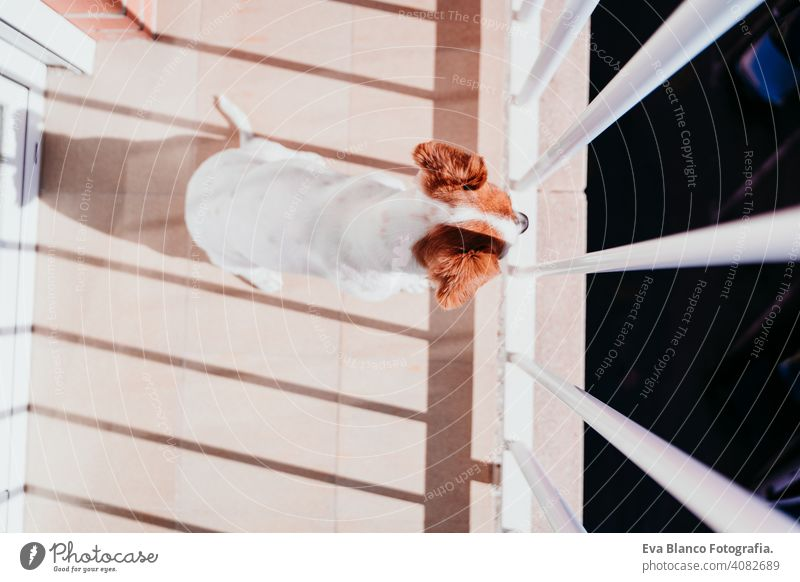 cute dog standing on a sunny day on a balcony terrace jack russell terrier outdoors house watching nobody portrait dream 1 animal doggy funny relax puppy happy