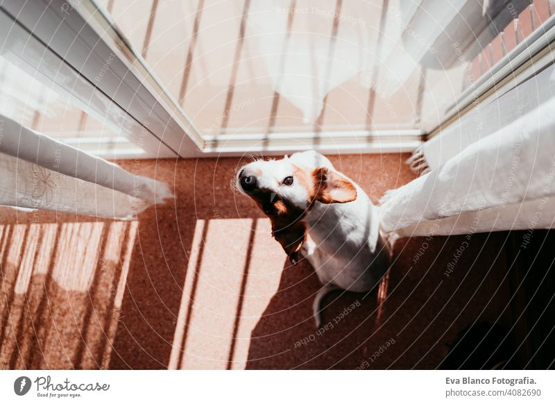 cute dog standing on a sunny day by the window home balcony terrace jack russell terrier outdoors house watching nobody portrait dream 1 animal doggy funny