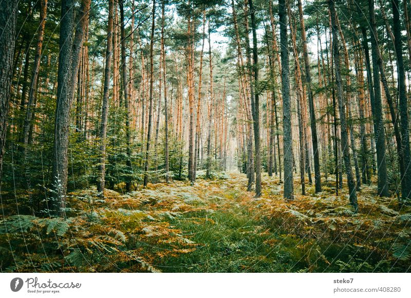 Way discussion Nature Fern Forest Natural Brown Green Pine Primordial Enchanted forest Forest path Colour photo Exterior shot Deserted