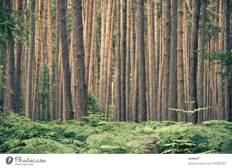 Nature Green Summer Tree Forest Brown Tree trunk Symmetry Pine Fern Undergrowth Disorientated