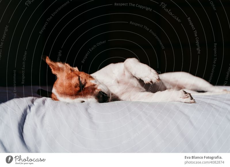 cute small jack russell dog resting on bed on a sunny day sleeping tired eyes closed snout nobody enjoy lazy snore happy comfort beautiful relaxation domestic