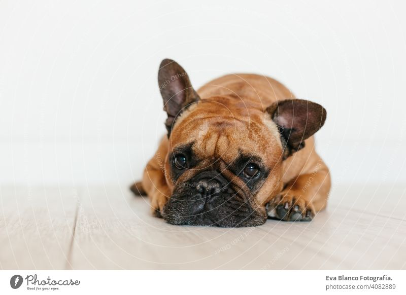 portrait of cute brown french bulldog at home and looking at the camera. Funny and playful expression. Pets indoors and lifestyle adorable animal beautiful bed