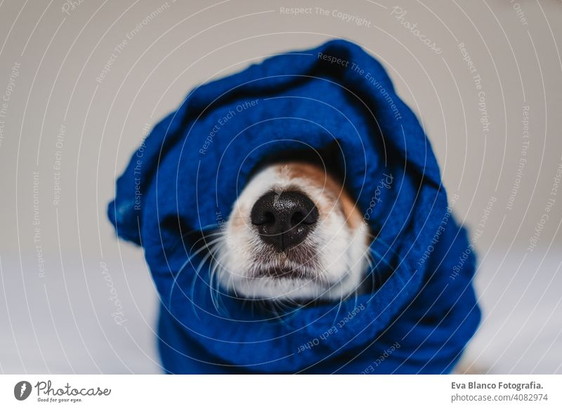 portrait of cute jack russell wrapped into a blue handkerchief classic blue scarf dog bed resting small lovely adorable relax fall white cover pet wake up