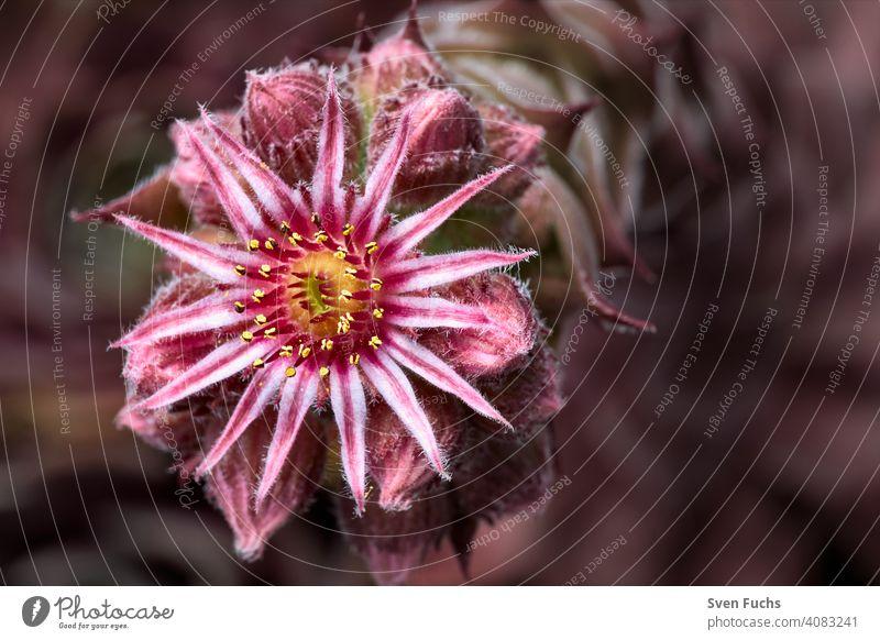 A rock plant in flower. Large-flowered houseleek (Sempervivum grandiflorum). sempervivum grandiflorum Blossom blossom Flower Rock garden Roof Root