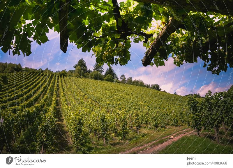 A short break along the hiking trail in the middle of the vineyard Vineyard Bunch of grapes Wine growing winemaking slope Exterior shot Plant Winery