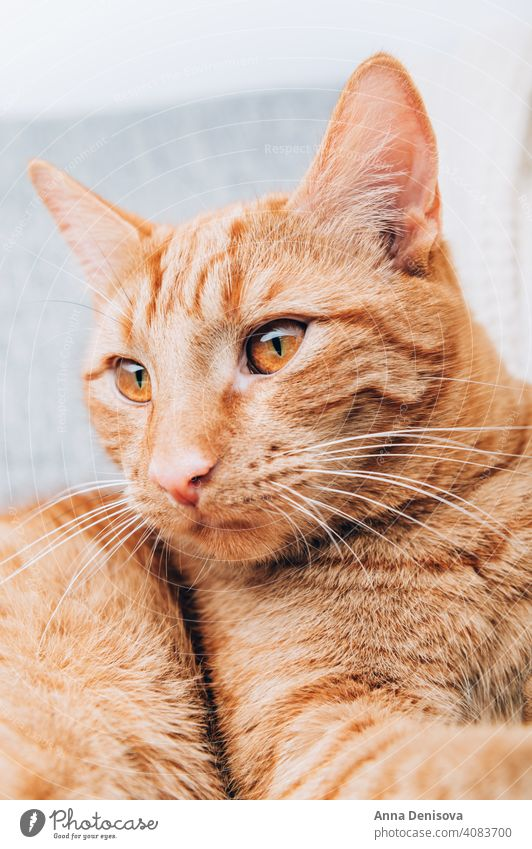 Ginger cat is laying on sofa ginger pet animal ginger cat cute portrait fluffy domestic orange red fur furry home comfort relax yellow adorable looking paw