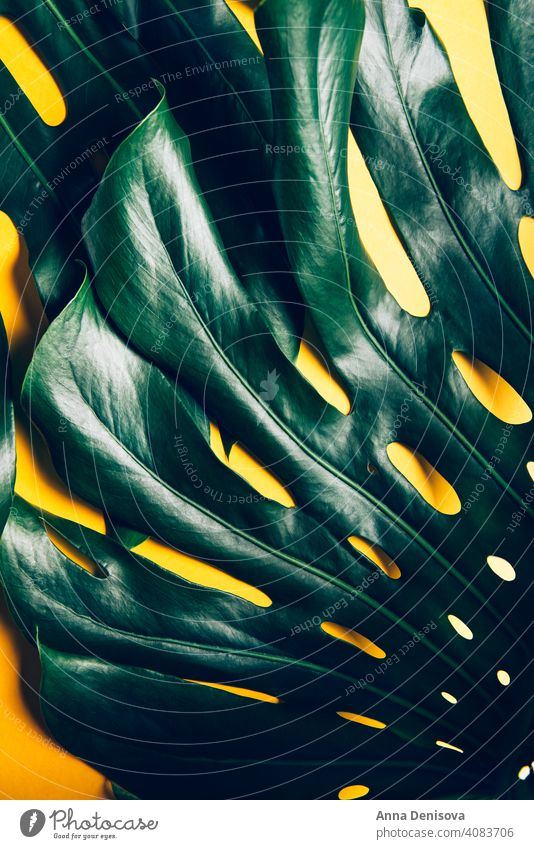 Tropical monstera leaves on yellow leaf monstera leaf tropical palm palm leaf plant trendy plant close up flat lay home jungle nature botanical decoration
