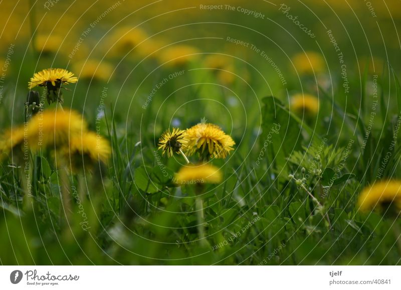 Flower Green Yellow Meadow Grass Dandelion