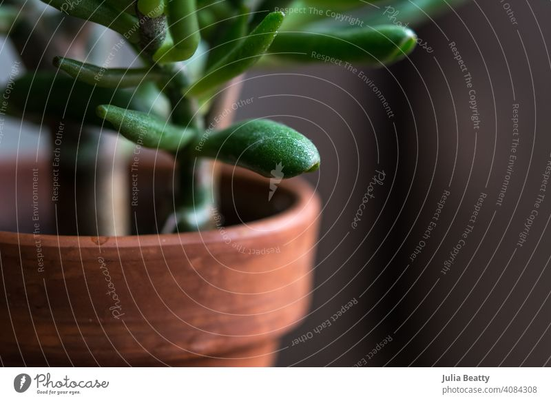 Crassula Ovata Jade plant in terra cotta pot; simple dark background crassula ovata jade jade plant houseplant succulent shrek variety green nature macro desert