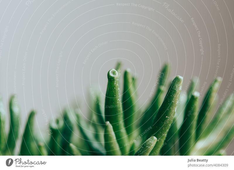 Jade houseplant against a plain background; Shrek Hands or Crassula ovata variety crassula ovata jade jade plant succulent shrek green nature macro desert easy