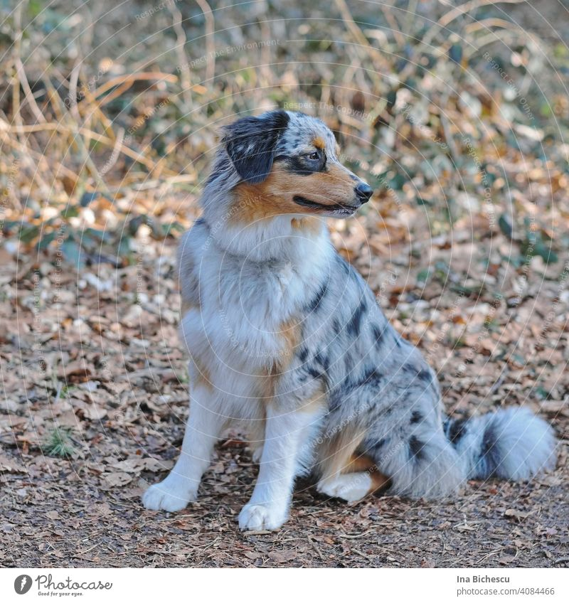 A gray and white young Australian Shepherd dog with black and light brown spots stands on his paws and looks to the right against a blurred background. Dog