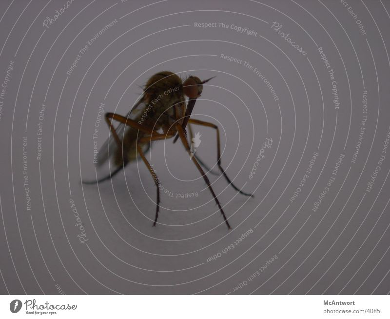 what kind of cattle? Mosquitos Animal Insect Fly
