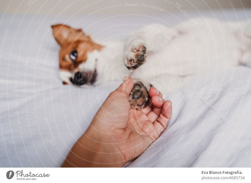 woman hand holding dog paw lying on bed owner love together togetherness paws cute jack russell resting small lovely adorable relax fall white cover under pet