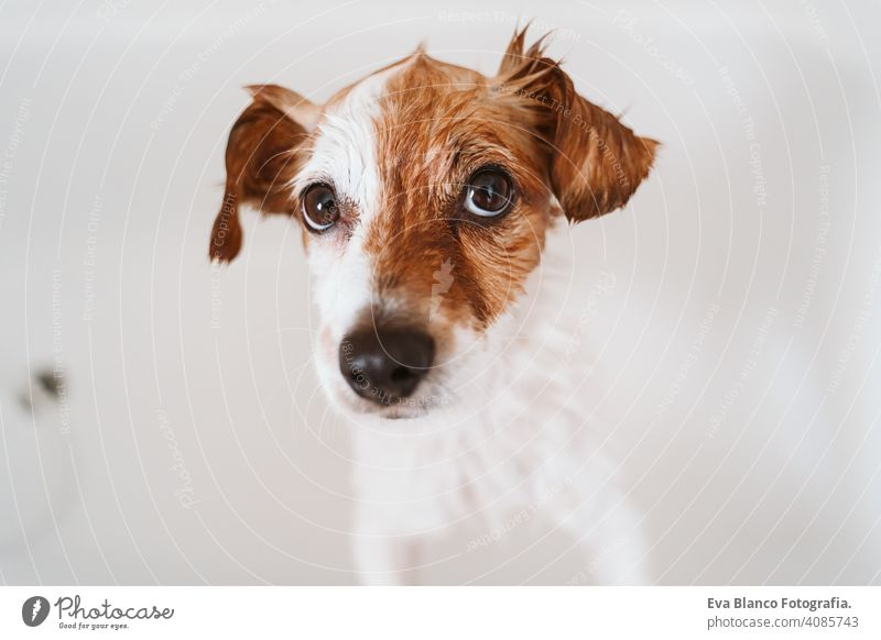 cute lovely small dog wet in bathtub, clean dog. Pets indoors jack russell shower home brown funny animal bathroom soap background purebred bubble hygiene