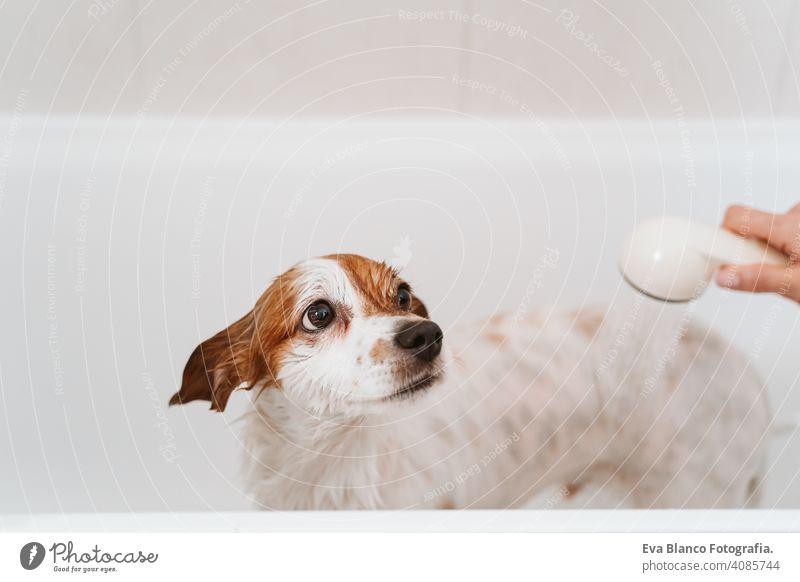 cute lovely small dog wet in bathtub, clean dog. Woman washing her dog. Pets indoors jack russell shower home brown funny animal bathroom soap background