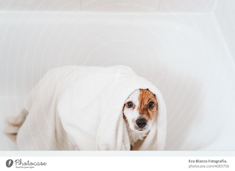 cute lovely small dog wet in bathtub, clean dog getting dried with towels. Pets indoors dry jack russell shower home brown funny animal bathroom soap background