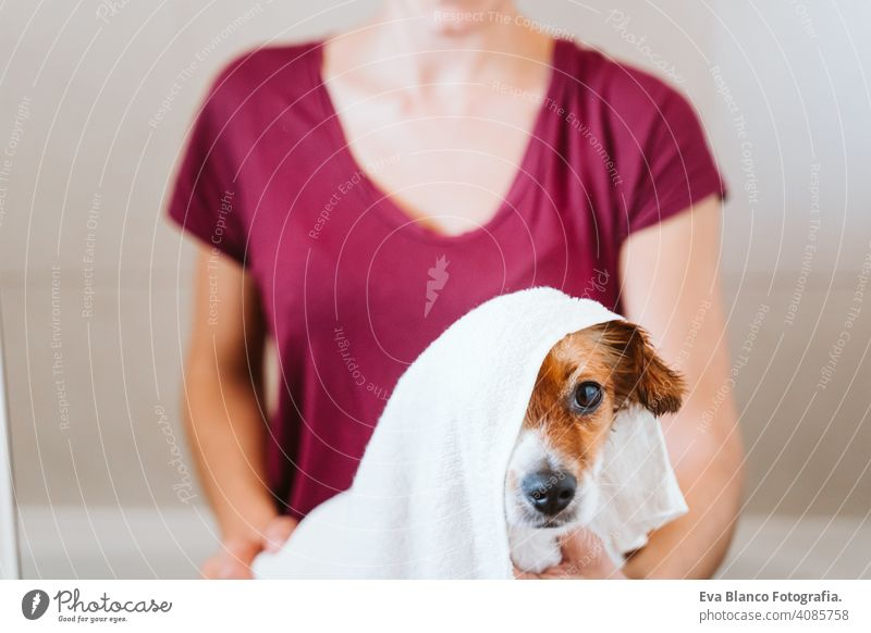 young woman drying her cute small jack russell dog with towel at home bath shower clean indoors bathtub brown funny animal bathroom soap background purebred