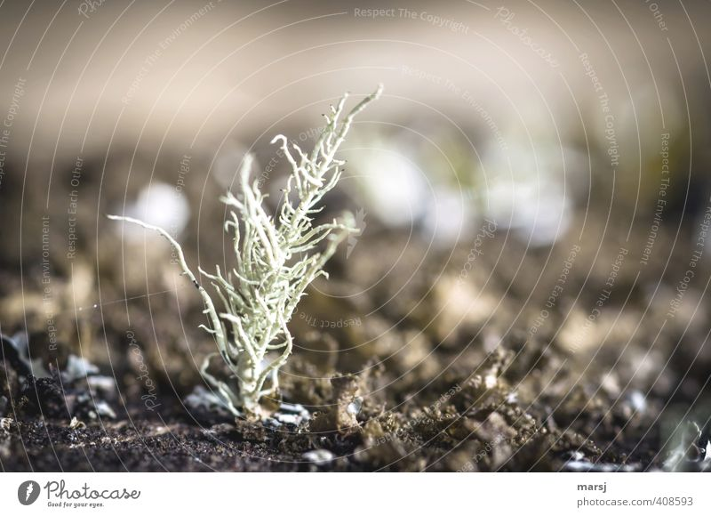 miniature coral Nature Plant Wild plant Lichen Stand To dry up Growth Exceptional Dark Simple Small Natural Brown Colour photo Subdued colour Exterior shot