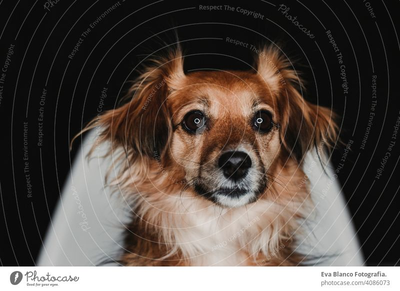 close up portrait of a cute dog sitting on a chair over black back background. led ring reflection in the eyes. black background alert mammal adorable terrier