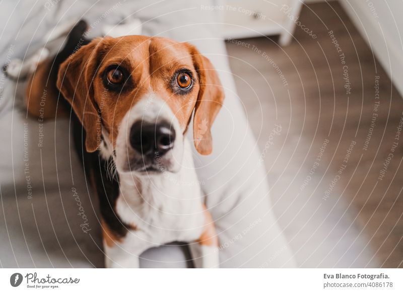 close up portrait of beautiful beagle dog at home pet bed lying house daytime owner nobody young brown white black purebred funny alone domestic playing