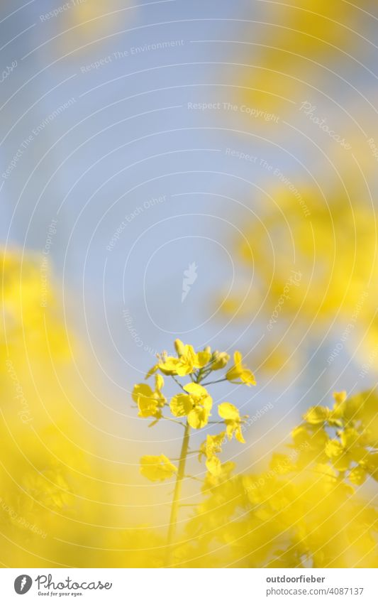 In the rape field Yellow Spring Blue Blue sky Blossoming Nature Sky Canola Canola field cheerful Plant Environment Agriculture Beautiful weather Exterior shot