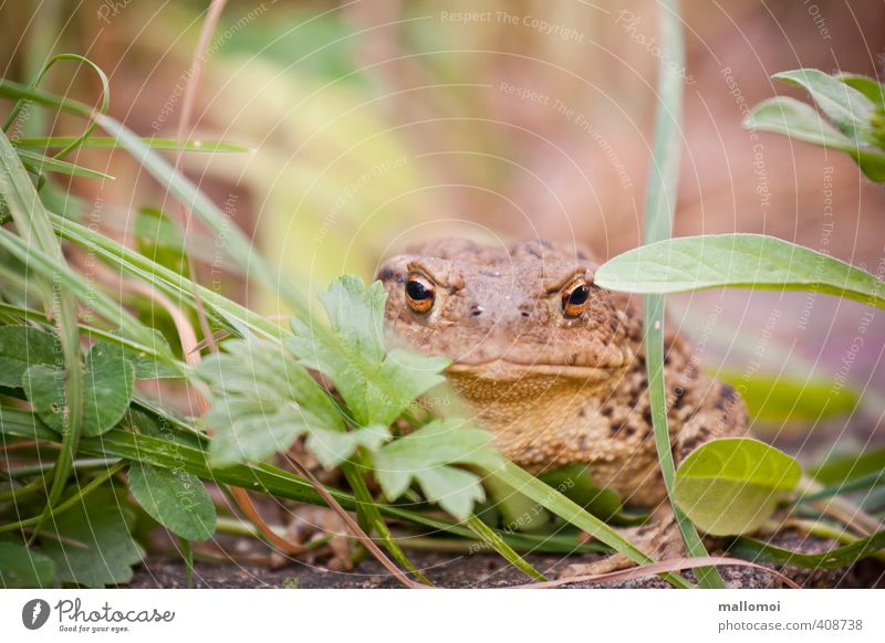 Toad in the grass Environment Nature Animal Wild animal Animal face Observe Painted frog Hide Camouflage Eyes Skin Sit Wait Jinxed Prince Charming Fairy tale