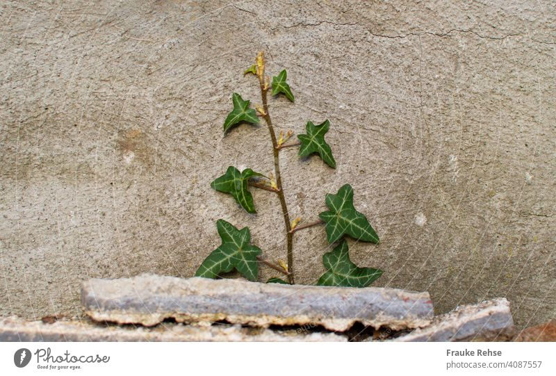 ivy growing fast up a wall behind stones Ivy Green Tendril Wall (barrier) Backyard Wall (building) Plant Overgrown Creeper Gray ivy vine Facade Foliage plant