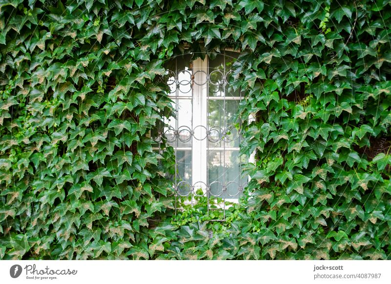 White window covered with green ivy Ivy Facade Growth Wall (building) Green Overgrown Tendril Creeper Nature streetlamp Window Frame Trimmed Decoration leaves
