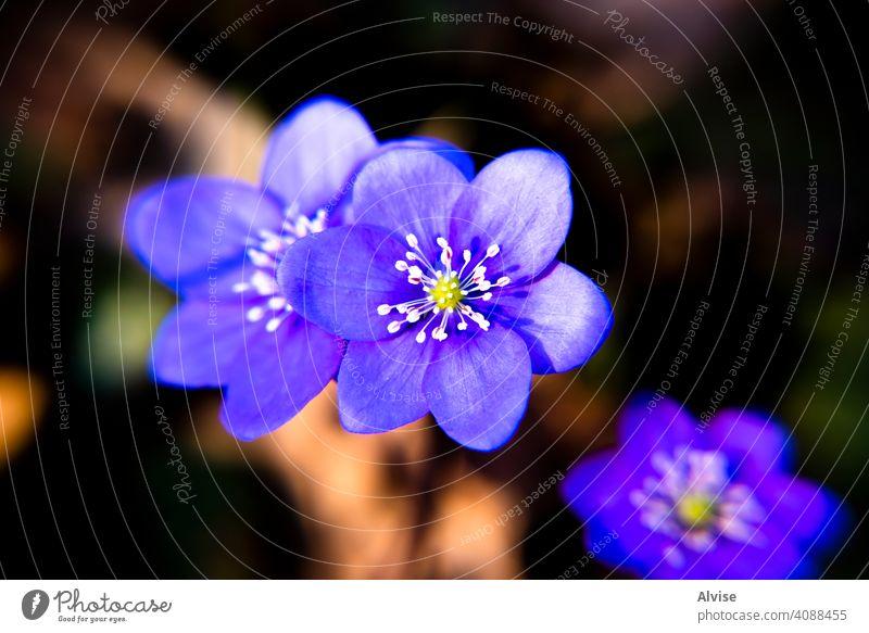 2021_03_13 Anemone Hepatica _1 nature plant blue blossom flora flower blooming liverwort closeup beautiful spring forest anemone springtime anemone hepatica
