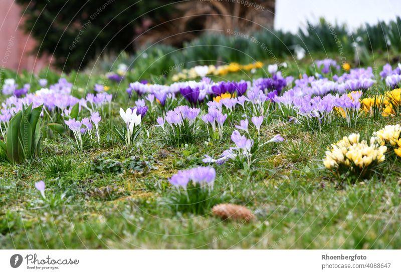 Numerous flowering crocuses in different colors Crocus Spring flowering plant onion flowers Onion Flower bulb variegated Weather Sun variety Garden Gardening