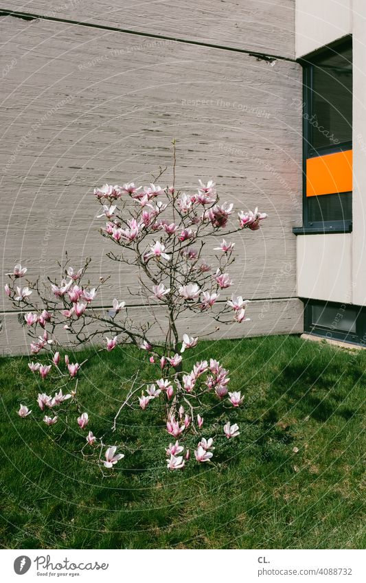 spring bloom Spring Blossom Tree shrub Wall (building) Lawn Window Spring fever Nature Concrete Spring Flowering Blossoming blossom