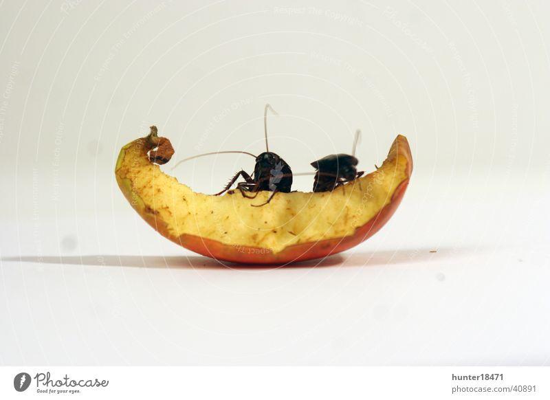 Apple Pests Cockroaches Oriental cockroach