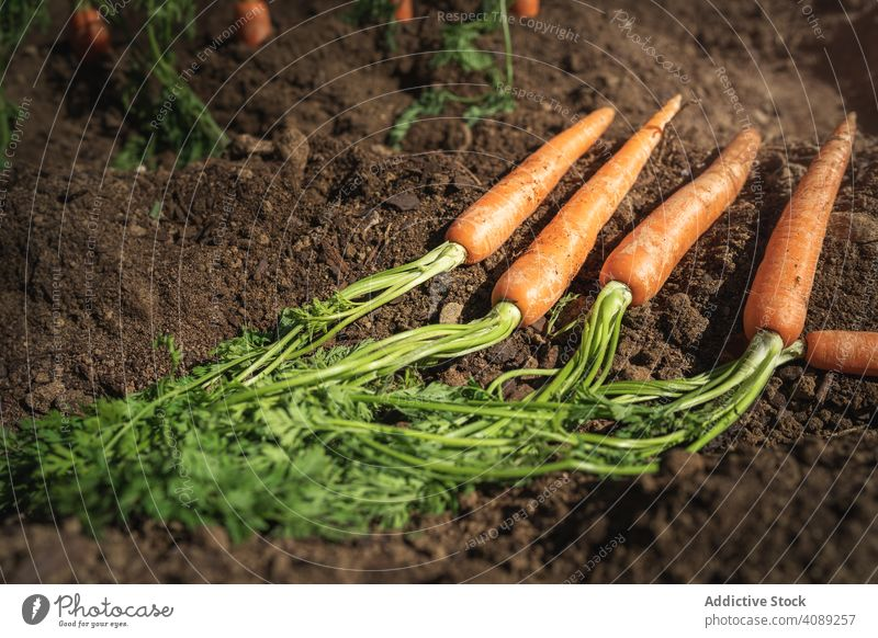 Carrots in dirt ground carrots farm vegetarian season orange healthy agriculture root leaf food delicious vegan unwashed earth green natural ripe garden plant
