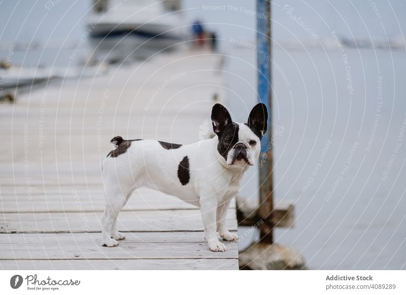 Cute dog on pier near sea beach french bulldog looking at camera water pet waves canine friend gray dull moody shore coast ocean puppy domestic purebred