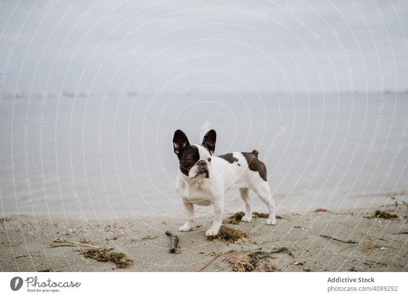Cute dog near sea beach french bulldog water pet waves canine friend gray dull moody shore coast ocean puppy domestic purebred pedigree adorable cute nobody