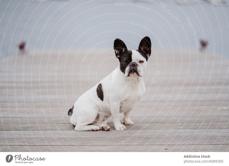 Cute dog on pier near sea sitting beach french bulldog looking at camera water pet waves canine friend gray dull moody shore coast ocean puppy domestic purebred