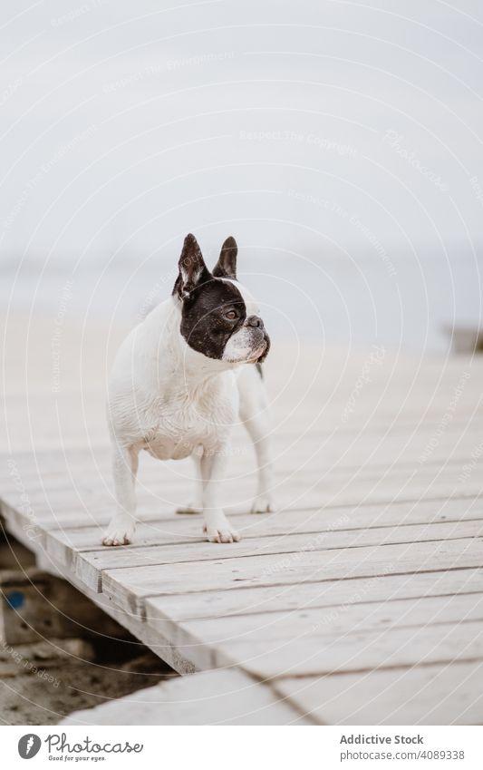 Cute dog on pier near sea beach french bulldog water pet waves canine friend gray dull moody shore coast ocean puppy domestic purebred pedigree adorable cute