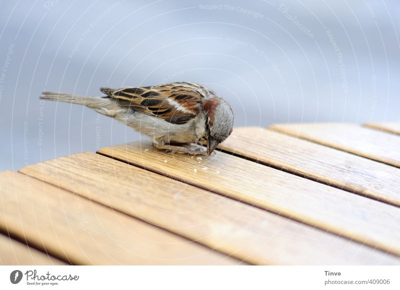 Sparrow picks crumbs from wooden table Bird 1 Animal Feeding Small Cute Blue Brown Gray Crumbs Eating Table Tabletop Wooden table Peck Colour photo