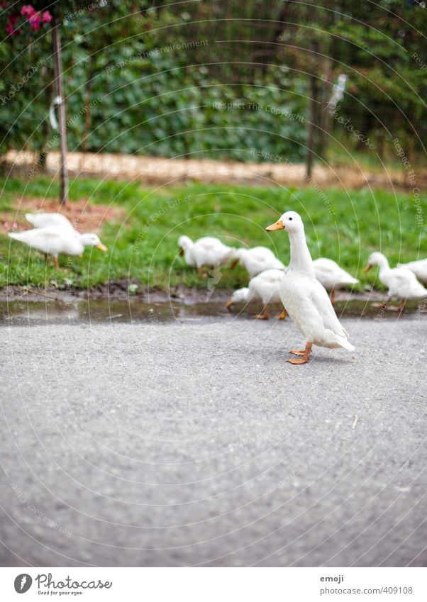 geese Environment Nature Plant Animal Farm animal Goose Group of animals Baby animal Natural Curiosity Cute Colour photo Exterior shot Deserted Day