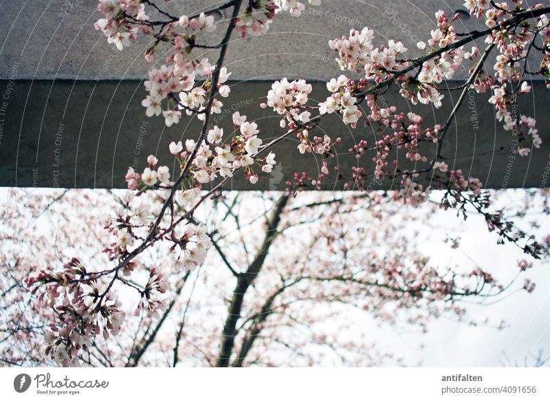 transience Cherry blossom Spring Blossom Tree Exterior shot Colour photo Nature Blossoming Pink Day Spring fever Cherry tree Beautiful weather Environment Sky
