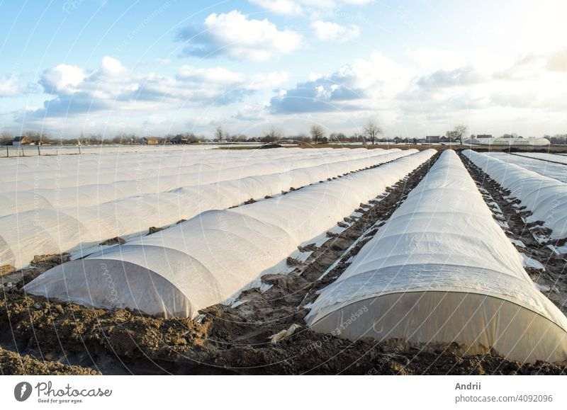 Planting potatoes under spunbond and membrane in a farm field. Create a greenhouse effect for care and protection of young plants from night frost. Earlier potatoes. Confronting an unstable climate.