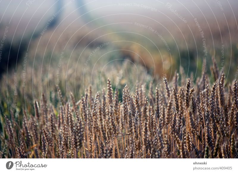 grain Agriculture Agricultural crop Grain Grain field Wheat Field Sustainability Growth Food Colour photo Subdued colour Exterior shot Copy Space top