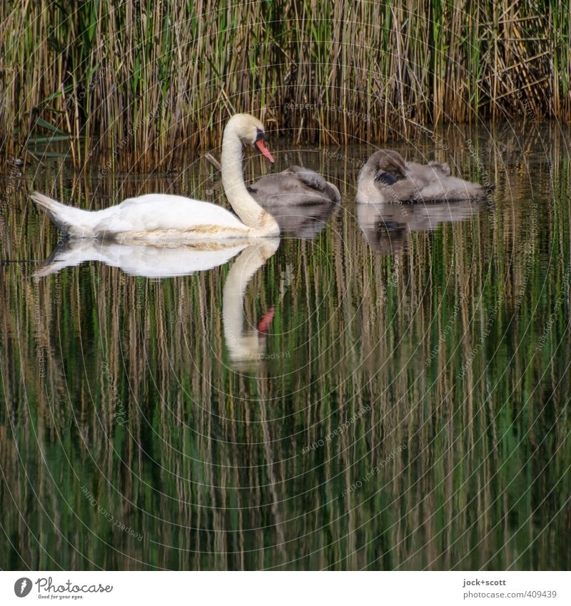 Swans large and small Plant Pond Wild animal 3 Animal Baby animal Sleep Small Safety (feeling of) Romance Watchfulness Life Environment Reeds Lakeside Habitat