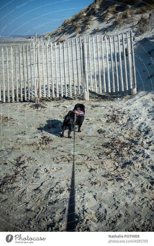 Dog on a leash walking on the beach Leashed leash dog Pet Animal Walk the dog To go for a walk Colour photo Exterior shot Dog lead Nature wood fence dune