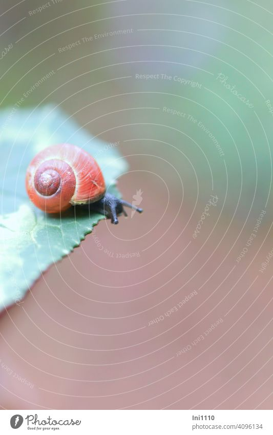 Small snail with red shell sits on the edge of the leaf Snail shell Snail shell small Feeler eyes crawling animal Wild animal Garden housing worms young animal