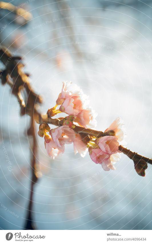 today se uffjeplatzt! blossom tree Spring cherry blossom blossoms Pink winter cherry Snow Cherry Autumnalis Prunus subhirtella pink flowers flowering twig